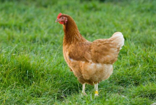 chicken investment